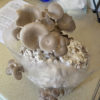Oyster Mushroom DIY Kit